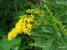 노란 꽃이 피는 미국미역취