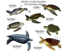 The types of sea turtles. In Oki we see mostly green sea turtles and hawksbills. Sea Turtle Species, Types Of Turtles, Red Footed Tortoise, Baby Sea Turtles, Turtle Baby, Beautiful Sea Creatures, Colorful Fish, Tropical Fish, African Cichlids