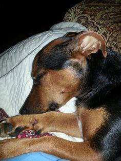 Rafa napping  Jack Russell, black & tan