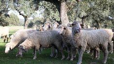 Goats, Horses, Animals, Cattle, Animales, Animaux, Animal, Animais, Horse