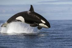 Photographic Print: Orca (Orcinus Orca) Breaching Whilst Hunting Common Dolphin, False Bay, South Africa, April by Chris & Monique Fallows : 24x16in