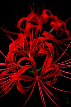 red spider lily by _ HAZET _  on 500px #black #red