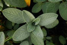 Let's take a look at the use of sage throughout the ages and see just how this great herb has been used.