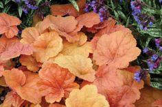 Heuchera-SOUTHERN-COMFORT-peach-rose-coral-bells-shade-foliage-perennial-plant