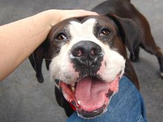 GONE - 08/02/14 Manhattan Center -P  My name is MIKE. My Animal ID # is A1008126. I am a male black and white pit bull mix. The shelter thinks I am about 3 YEARS old.  I came in the shelter as a STRAY on 07/26/2014 from NY 11212, owner surrender reason stated was STRAY.  https://www.facebook.com/Urgentdeathrowdogs/photos/a.611290788883804.1073741851.152876678058553/844945785518302/?type=1