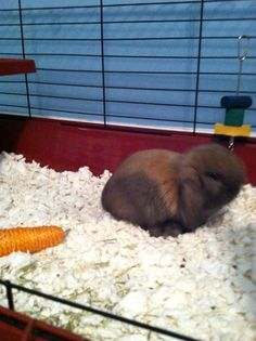 new born hollond lop bunny oh so cute