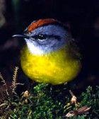 Russet-crowned Warbler(TB), Myiothlypis coronata, Parulidae family: BO/ CO/ EC/ PE/ VE