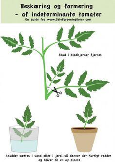 Sådan dyrker du tomater - tomater i drivhus og på friland