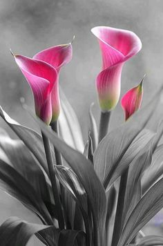 Calla Lilies - Flower - Touch of Color Calla Lillies, Calla Lily, Flower Pictures, Pretty Pictures, Love Garden, Cut Flowers, Amazing Flowers, Color Splash, Flower Art