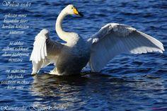 Ultsi Swan, Animals, Animales, Animaux, Swans, Animal, Animais