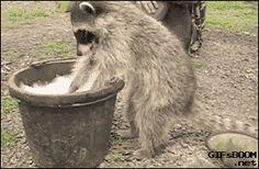 Raccoon washing clothes.
