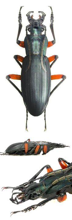 Ctenocarabus galicianus