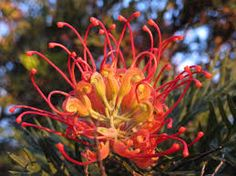 Image result for red grevillea