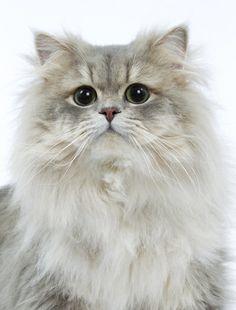Highland Straight #cat