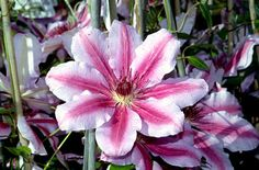 RHS Plant Selector Clematis 'Nelly Moser' (EL) AGM / RHS Gardening For the north fence