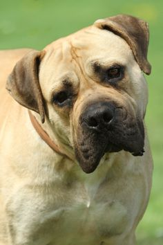 This is a Boerboel, a South African Mastiff! Very rare in Sweden, so I was happy to see one South African boy Mastiff Dog Breeds, Bulldog Breeds, Puppies And Kitties, Doggies, South African Boerboel, Rare Dog Breeds, Sweet Dogs, Loyal Dogs, Bullmastiff
