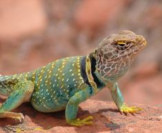 Eastern collared lizard!- more specifically the subspecies I studied! Aren't they beautiful?!