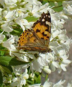 Farfalla & Deutzia crenata 'Nikko' http://lefotodiluisella.blogspot.it/2015/04/deutzia-crenata-nikko.html