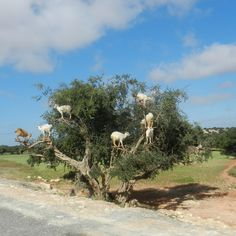 goats-in-a-tree
