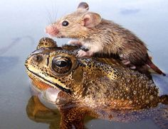 A frog helping a mouse during a flood in India. Hopefully the photographer stepped in after he took the shot!