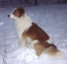 Farm collie/Farm Shepherd dog photo | Photo Gallery of Modern Old-Time Scotch Collies of Note