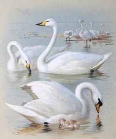 1330421220_bewicks-swan-whooper-swan-and-mute-swan (416x500, 147Kb)