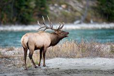 Jasper National Park during Elk Rut