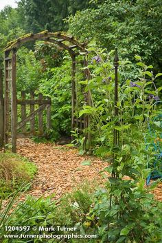 Clematis Integrifolia By Wood Chip Path W/ Wooden Arbor Bkgnd [Clematis  Integrifolia].