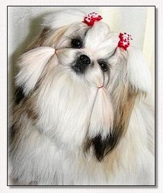 Shih Tzu~Modeling Heavenly Hearts Red Tiny Ties Bows!