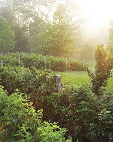 berry-bushes-1-mld107637.jpg