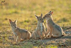 Chacal-filhotes de cachorro-mara