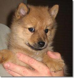Finnish Spitz puppy.
