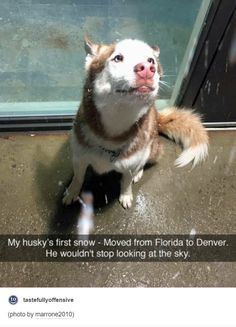 Husky's first snow