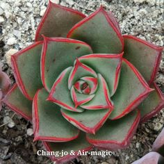 https://flic.kr/p/AdqVLx | Echeveria 'Paso Doble' | Created by Chang-jo & Air-magic nursery in korea