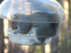 Squirrel in my 'squirrel proof' bird feeder..