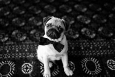 PUG WITHA BOWTIE....... Doctor Pug!