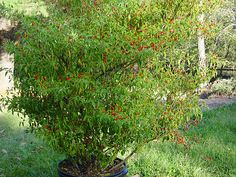 Pequin Pepper: Little Goes A Long Way - PepperScale Farm Gardens, Outdoor Gardens, Pepper Scale, Hot Pepper Recipes, How To Make Chili, Growing Peppers, Hot Pepper Sauce, Pepper Plants, Stuffed Hot Peppers