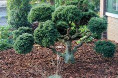 Picea abies 'Ohlendorffii' 40 years old