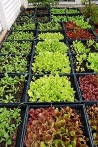 Growing Vegetables How to Grow Lettuces An indispensible crop and the epitome of summer, though they can be grown nearly all year round. No garden should be without a few. Soil requirements Nothing in particular but . Farm Gardens, Outdoor Gardens, Veggie Gardens, Organic Gardening, Gardening Tips, Vegetable Gardening, Flower Gardening, Potager Bio, Growing Lettuce
