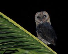 49 Best Owl Species images   Owl pictures, Owl species, Owls - photo#2
