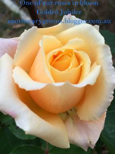 Apothecary Greens: Gallery of Herbs Golden Jubilee Rose