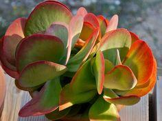 Kalanchoe luciae - Paddle Plant Red Pancakes