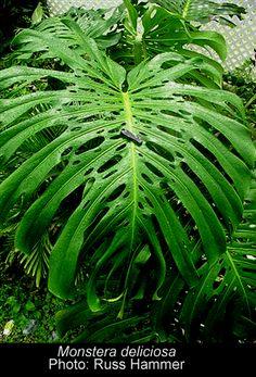 Colombian plants: Monstera deliciosa LIEMB