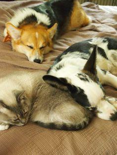 Corgis, Pembroke & Cardigan, snuggle with their cat