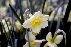RHS Plant Selector Narcissus 'Oryx' (7) AGM / RHS Gardening