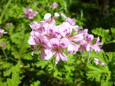 Health Remedies, Herbalism, Health Fitness, Herbs, Garden, Flowers, Plants, Beauty, Drink