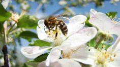 Pollination crisis impacting Tasmanian agribusiness growth