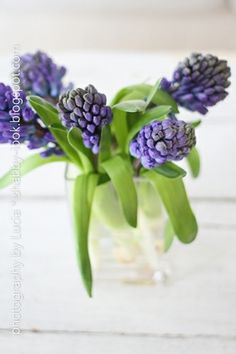 Grape hyacinths in glass vase Mother In Law Birthday, Shabby Chic Cottage, White Cottage, Cottage Signs, Shabby Look, Spring Bulbs, Spring Sign, Seed Pods, Spring Has Sprung