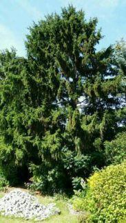 Fälle kostenlos Bäume gegen Holzabfuhr in Schleswig-Holstein - Oldenburg in Holstein | Tauschbörse. Tausche deine Sachen | eBay Kleinanzeigen