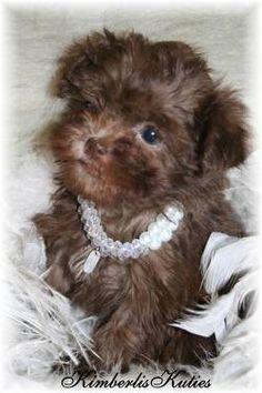 Lil Pia ~ Chocolate Shih Poo ( Shih Tzu / Toy Poodle )